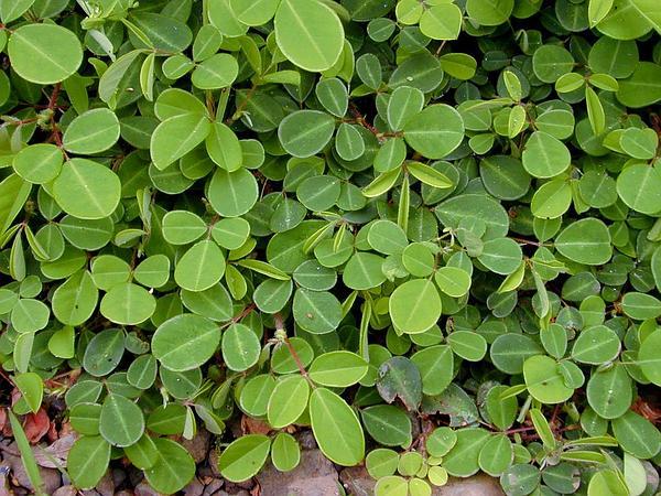 Threeflower Ticktrefoil (Desmodium Triflorum) https://www.sagebud.com/threeflower-ticktrefoil-desmodium-triflorum/