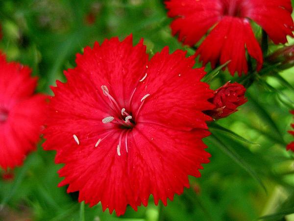 Pink (Dianthus) https://www.sagebud.com/pink-dianthus/