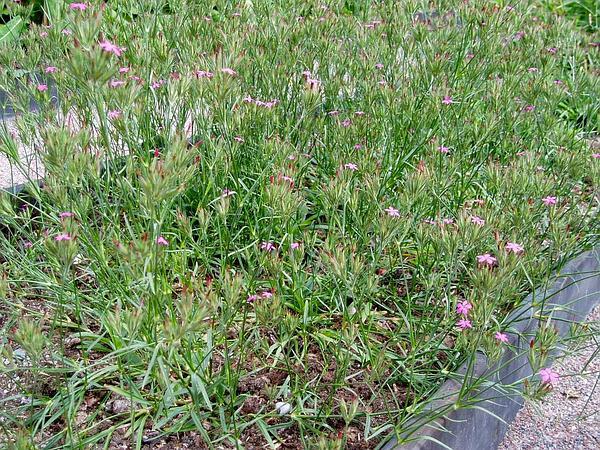 Deptford Pink (Dianthus Armeria) https://www.sagebud.com/deptford-pink-dianthus-armeria