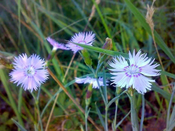 Sand Pink (Dianthus Arenarius) https://www.sagebud.com/sand-pink-dianthus-arenarius