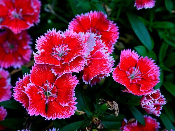 Sweetwilliam (Dianthus Barbatus) https://www.sagebud.com/sweetwilliam-dianthus-barbatus