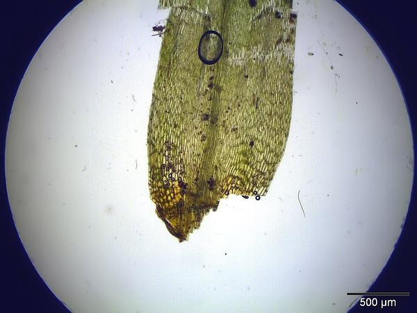 Bonjean's Dicranum Moss (Dicranum Bonjeanii) https://www.sagebud.com/bonjeans-dicranum-moss-dicranum-bonjeanii