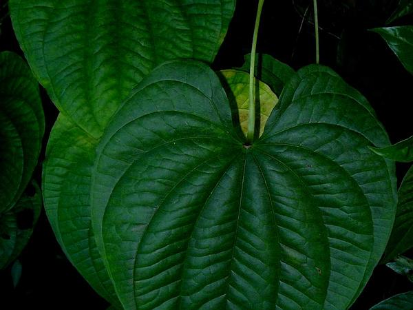 Air Yam (Dioscorea Bulbifera) https://www.sagebud.com/air-yam-dioscorea-bulbifera