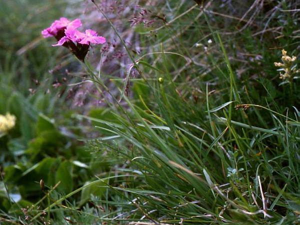 Clusterhead (Dianthus Carthusianorum) https://www.sagebud.com/clusterhead-dianthus-carthusianorum