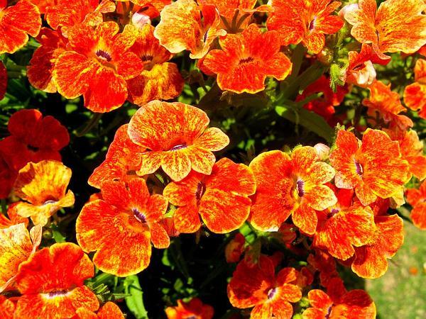Carnation (Dianthus Caryophyllus) https://www.sagebud.com/carnation-dianthus-caryophyllus