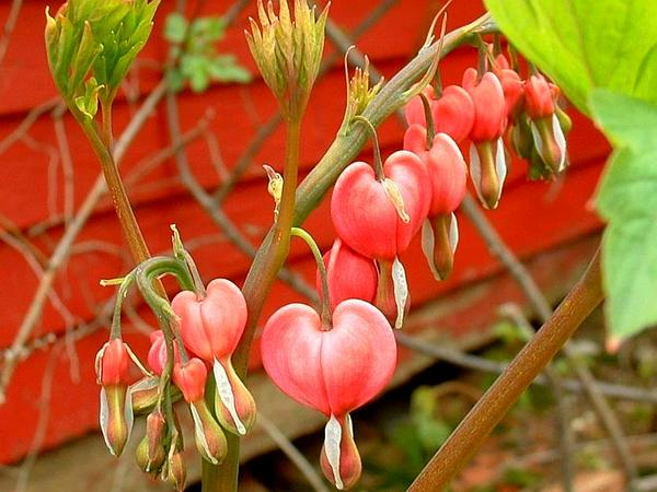 Bleeding Heart (Dicentra) https://www.sagebud.com/bleeding-heart-dicentra