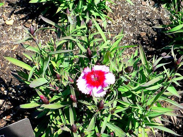 Rainbow Pink (Dianthus Chinensis) https://www.sagebud.com/rainbow-pink-dianthus-chinensis