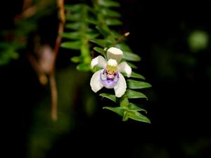 Leafystem Orchid