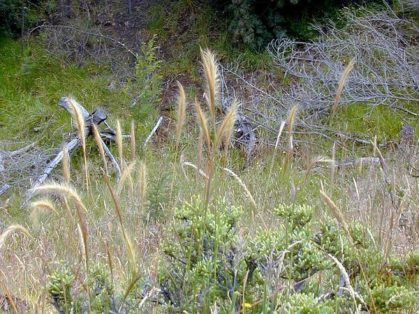 Plumegrass (Dichelachne) https://www.sagebud.com/plumegrass-dichelachne