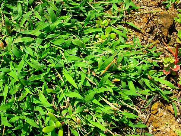 Southern Crabgrass (Digitaria Ciliaris) https://www.sagebud.com/southern-crabgrass-digitaria-ciliaris