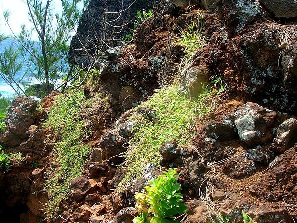 Southern Crabgrass (Digitaria Ciliaris) https://www.sagebud.com/southern-crabgrass-digitaria-ciliaris