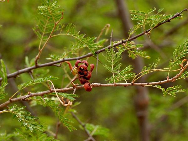 Aroma (Dichrostachys Cinerea) https://www.sagebud.com/aroma-dichrostachys-cinerea