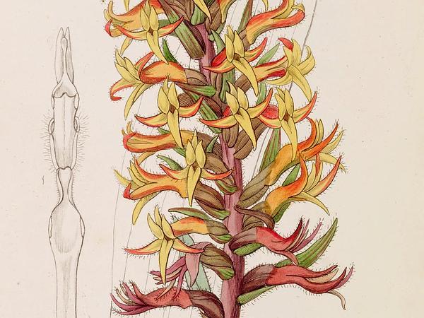 Scarlet Lady's Tresses (Dichromanthus Cinnabarinus) https://www.sagebud.com/scarlet-ladys-tresses-dichromanthus-cinnabarinus
