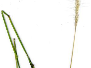 Clovenfoot Plumegrass
