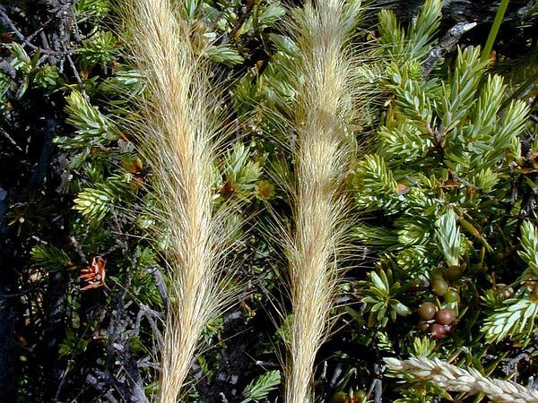 Clovenfoot Plumegrass (Dichelachne Crinita) https://www.sagebud.com/clovenfoot-plumegrass-dichelachne-crinita