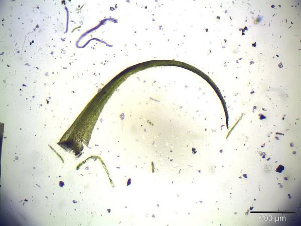 Dicranella Moss (Dicranella) https://www.sagebud.com/dicranella-moss-dicranella/