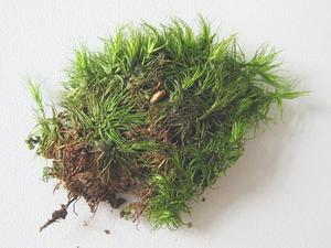 Dicranum Moss
