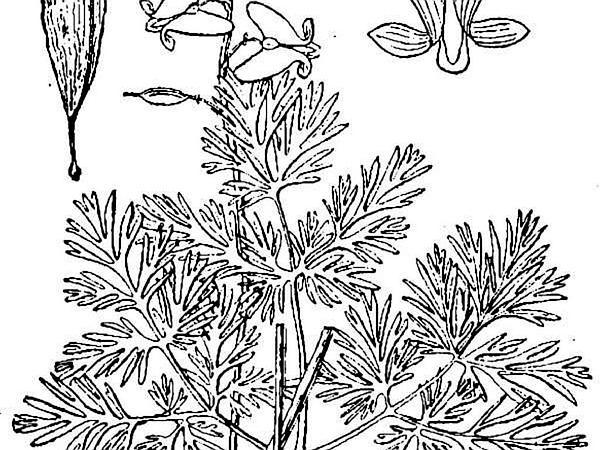 Dutchman's Breeches (Dicentra Cucullaria) https://www.sagebud.com/dutchmans-breeches-dicentra-cucullaria