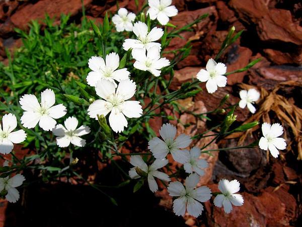Maiden Pink (Dianthus Deltoides) https://www.sagebud.com/maiden-pink-dianthus-deltoides