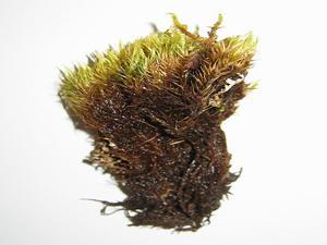 Elongate Dicranum Moss
