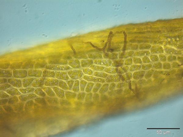 Elongate Dicranum Moss (Dicranum Elongatum) https://www.sagebud.com/elongate-dicranum-moss-dicranum-elongatum