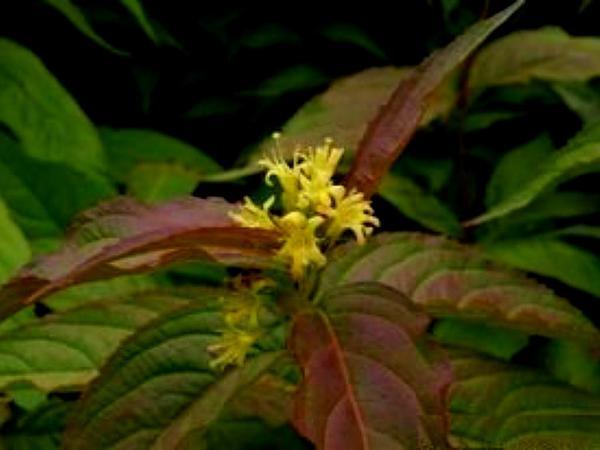 Bush Honeysuckle (Diervilla) https://www.sagebud.com/bush-honeysuckle-diervilla/