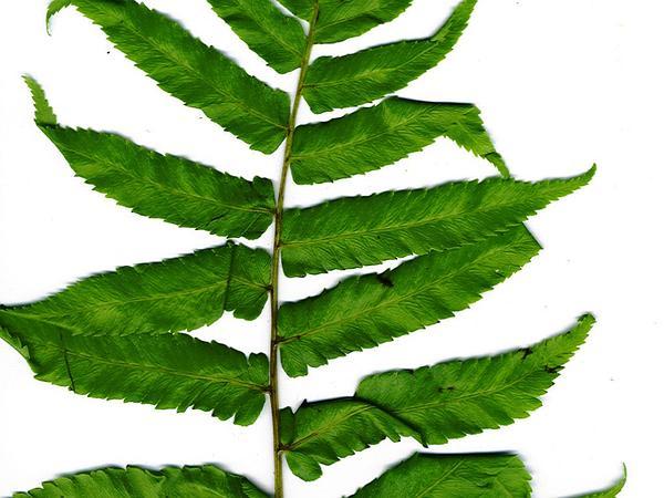 Vegetable Fern (Diplazium Esculentum) https://www.sagebud.com/vegetable-fern-diplazium-esculentum/
