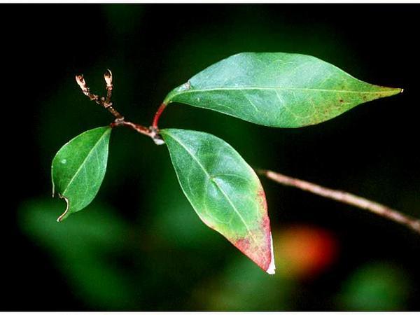 Gulf Sebastian-Bush (Ditrysinia Fruticosa) https://www.sagebud.com/gulf-sebastian-bush-ditrysinia-fruticosa