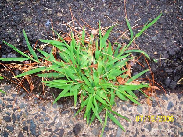 Crabgrass (Digitaria) https://www.sagebud.com/crabgrass-digitaria