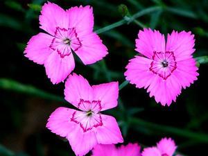 Cheddar Pink