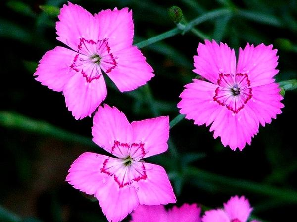 Cheddar Pink (Dianthus Gratianopolitanus) https://www.sagebud.com/cheddar-pink-dianthus-gratianopolitanus