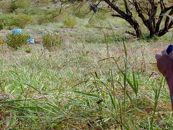 Sourgrass (Digitaria Insularis) https://www.sagebud.com/sourgrass-digitaria-insularis