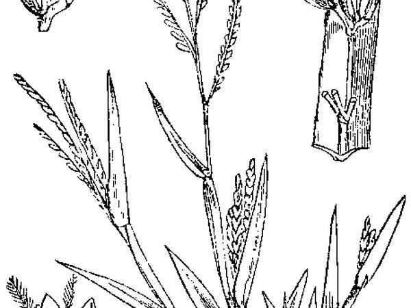 Smooth Crabgrass (Digitaria Ischaemum) https://www.sagebud.com/smooth-crabgrass-digitaria-ischaemum