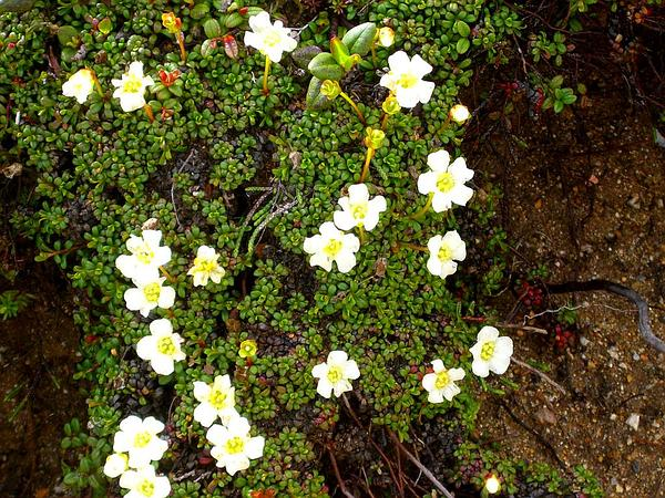 Pincushion Plant (Diapensia Lapponica) https://www.sagebud.com/pincushion-plant-diapensia-lapponica