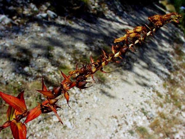 Straw Foxglove (Digitalis Lutea) https://www.sagebud.com/straw-foxglove-digitalis-lutea/