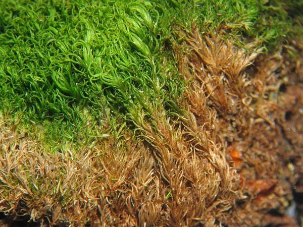 Montane Dicranum Moss (Dicranum Montanum) https://www.sagebud.com/montane-dicranum-moss-dicranum-montanum