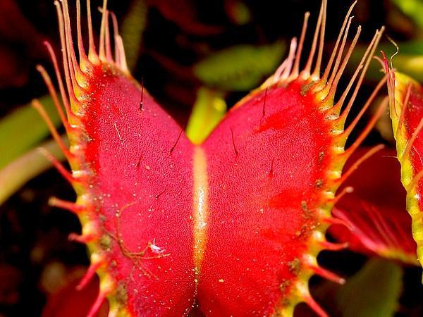 Venus Flytrap (Dionaea Muscipula) https://www.sagebud.com/venus-flytrap-dionaea-muscipula