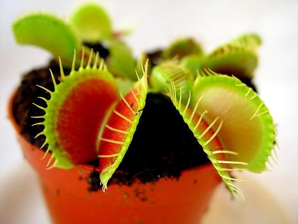 Venus Flytrap (Dionaea) https://www.sagebud.com/venus-flytrap-dionaea