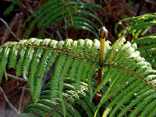 Scrambling Fern (Diplopterygium Pinnatum) https://www.sagebud.com/scrambling-fern-diplopterygium-pinnatum
