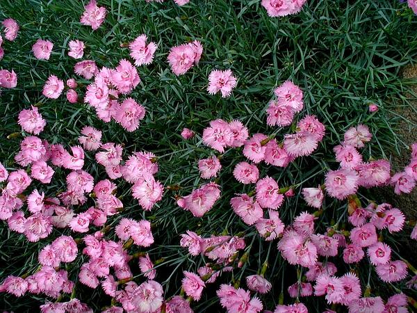 Feathered Pink (Dianthus Plumarius) https://www.sagebud.com/feathered-pink-dianthus-plumarius