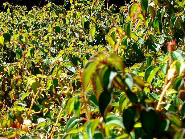 Pinklady (Dissotis Rotundifolia) https://www.sagebud.com/pinklady-dissotis-rotundifolia