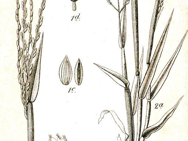 Hairy Crabgrass (Digitaria Sanguinalis) https://www.sagebud.com/hairy-crabgrass-digitaria-sanguinalis/
