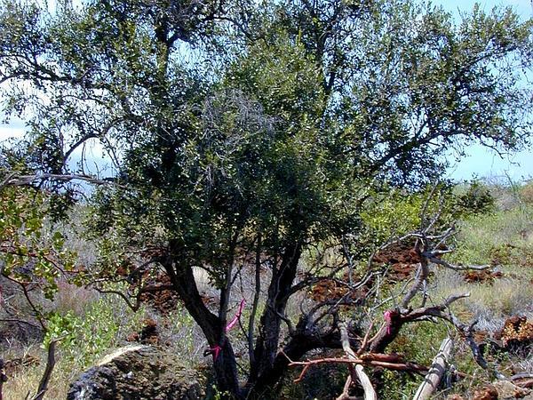 Lama (Diospyros Sandwicensis) https://www.sagebud.com/lama-diospyros-sandwicensis