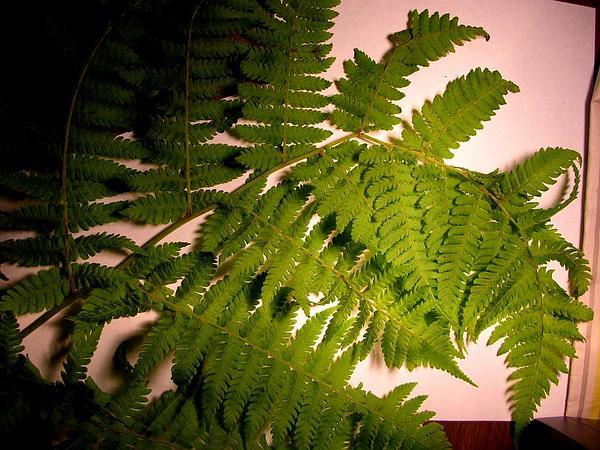 Hawai'I Twinsorus Fern (Diplazium Sandwichianum) https://www.sagebud.com/hawaii-twinsorus-fern-diplazium-sandwichianum