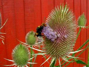 Indian Teasel