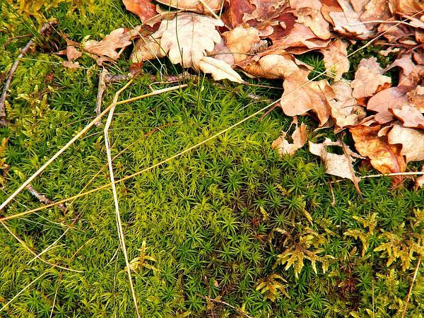 Dicranum Moss (Dicranum Scoparium) https://www.sagebud.com/dicranum-moss-dicranum-scoparium