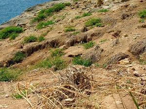 East Indian Crabgrass