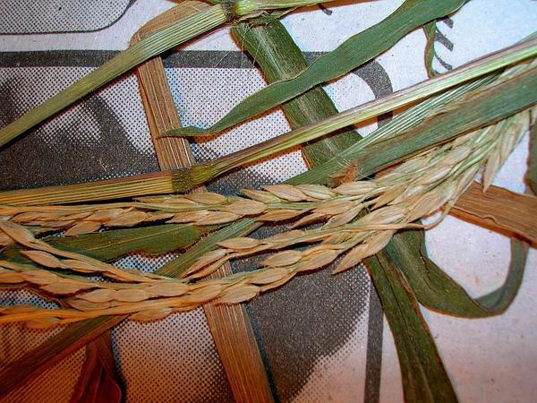 East Indian Crabgrass (Digitaria Setigera) https://www.sagebud.com/east-indian-crabgrass-digitaria-setigera