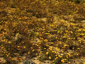 Glandular Cape Marigold