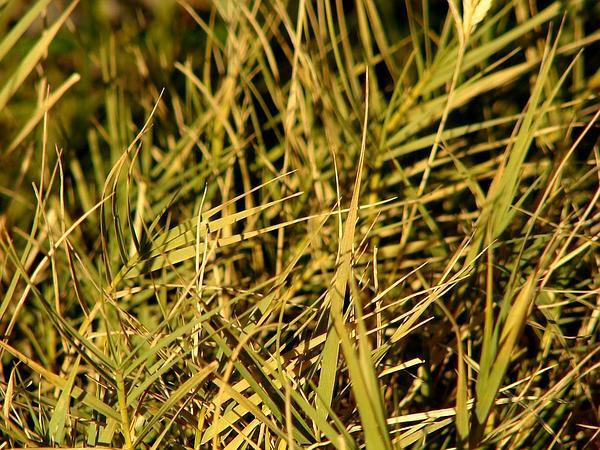 Saltgrass (Distichlis) https://www.sagebud.com/saltgrass-distichlis